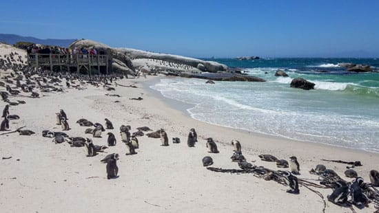 Bolder Beach Penguins